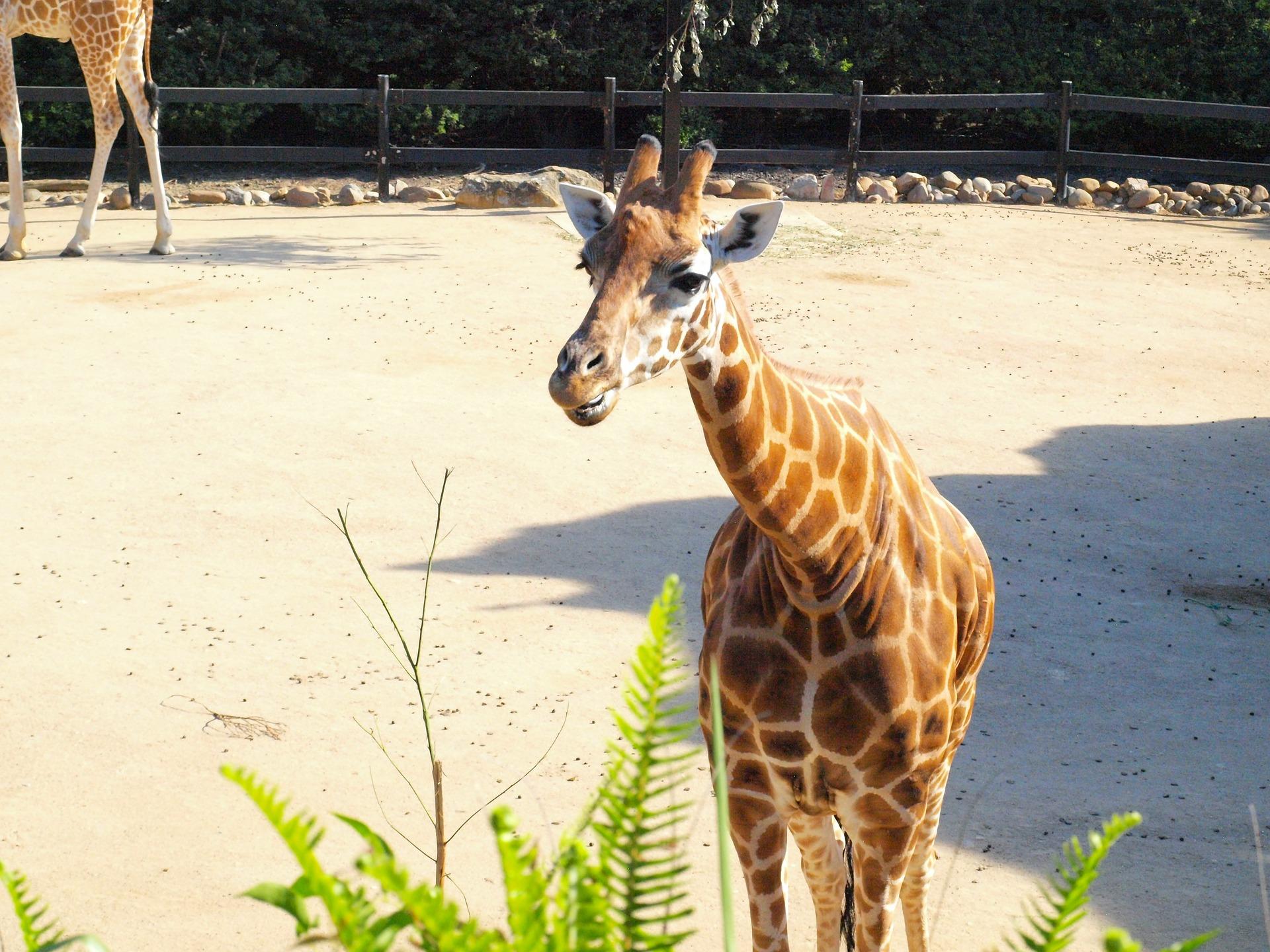 Giraffe at Taronga Zoo, Sydney, Australia