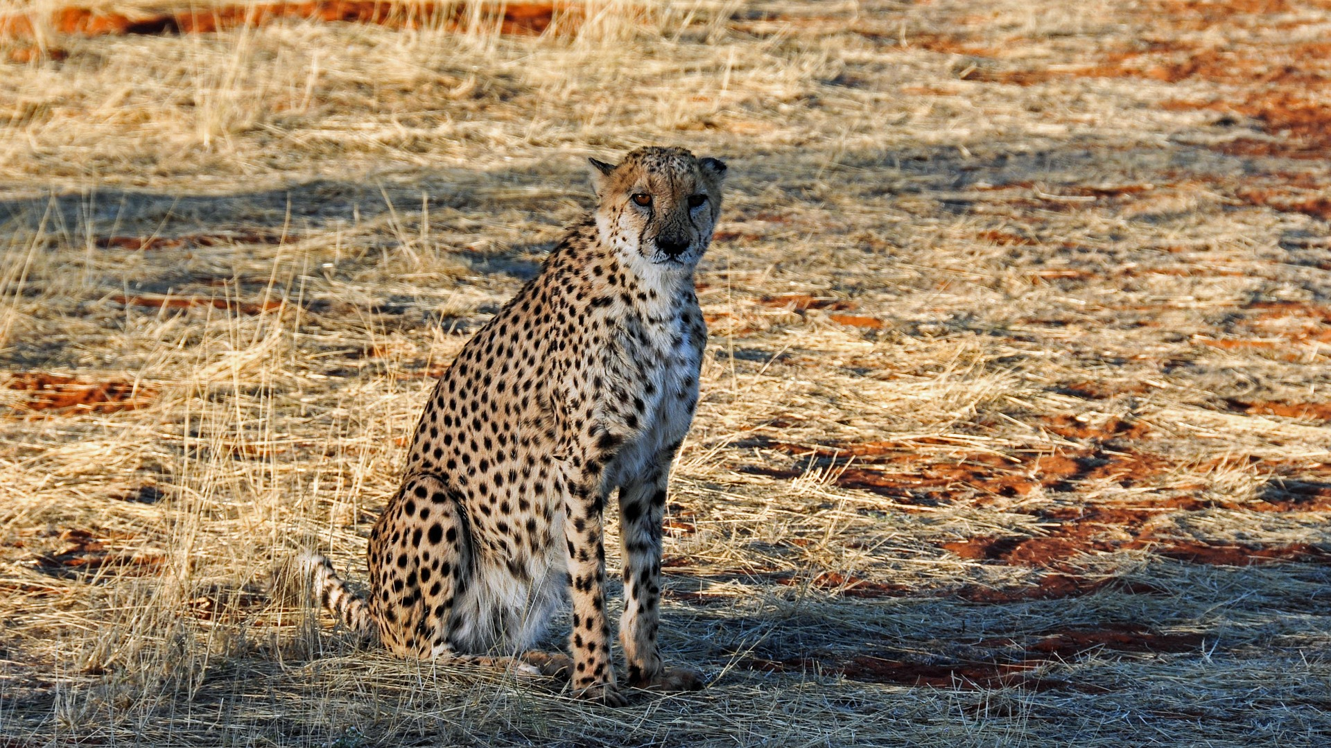 A cheetah in Namibia