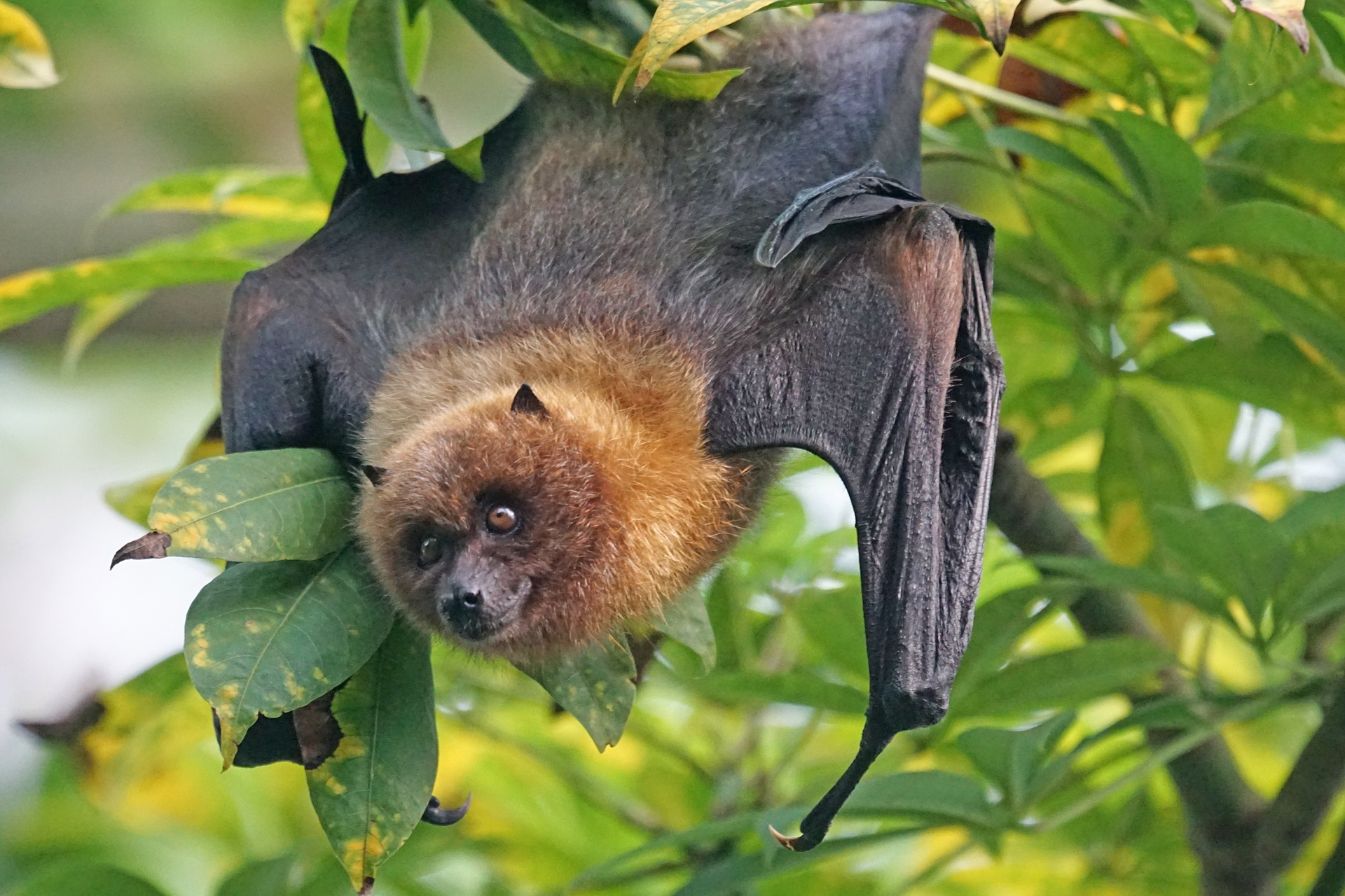 A flying fox
