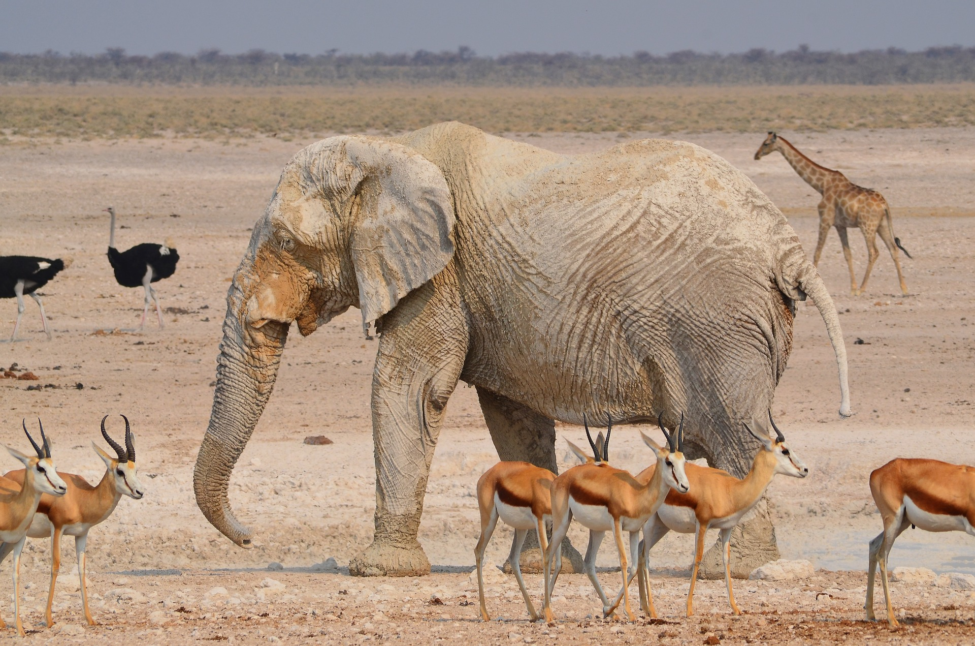 Elephant, giraffe and ostrich in Etosha National Park in Namibia