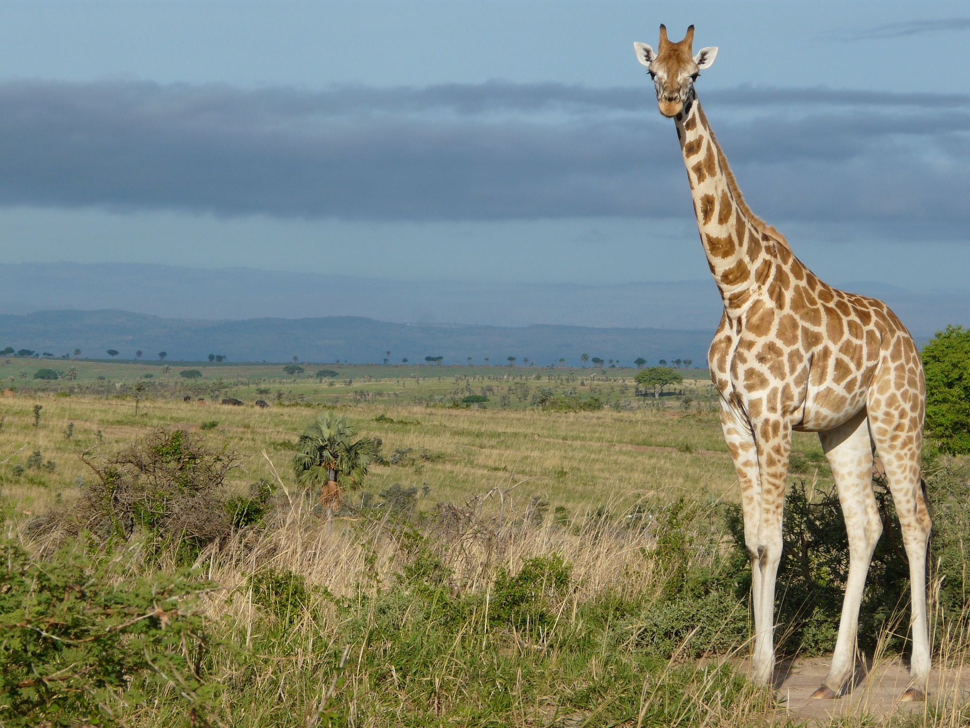 Giraffe in Murchison Falls National Park, Uganda