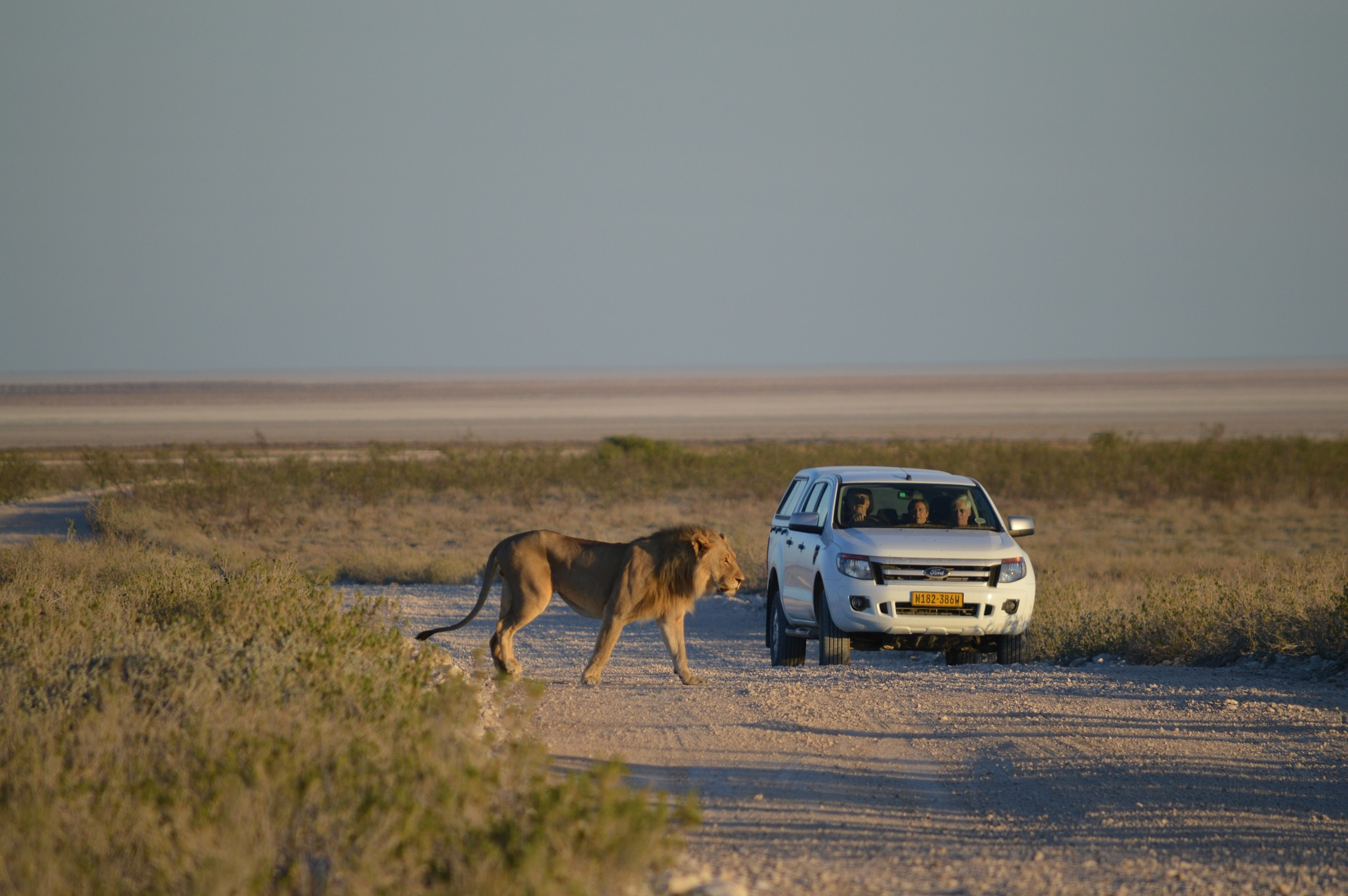Lion in Etosha National Park in Namibia