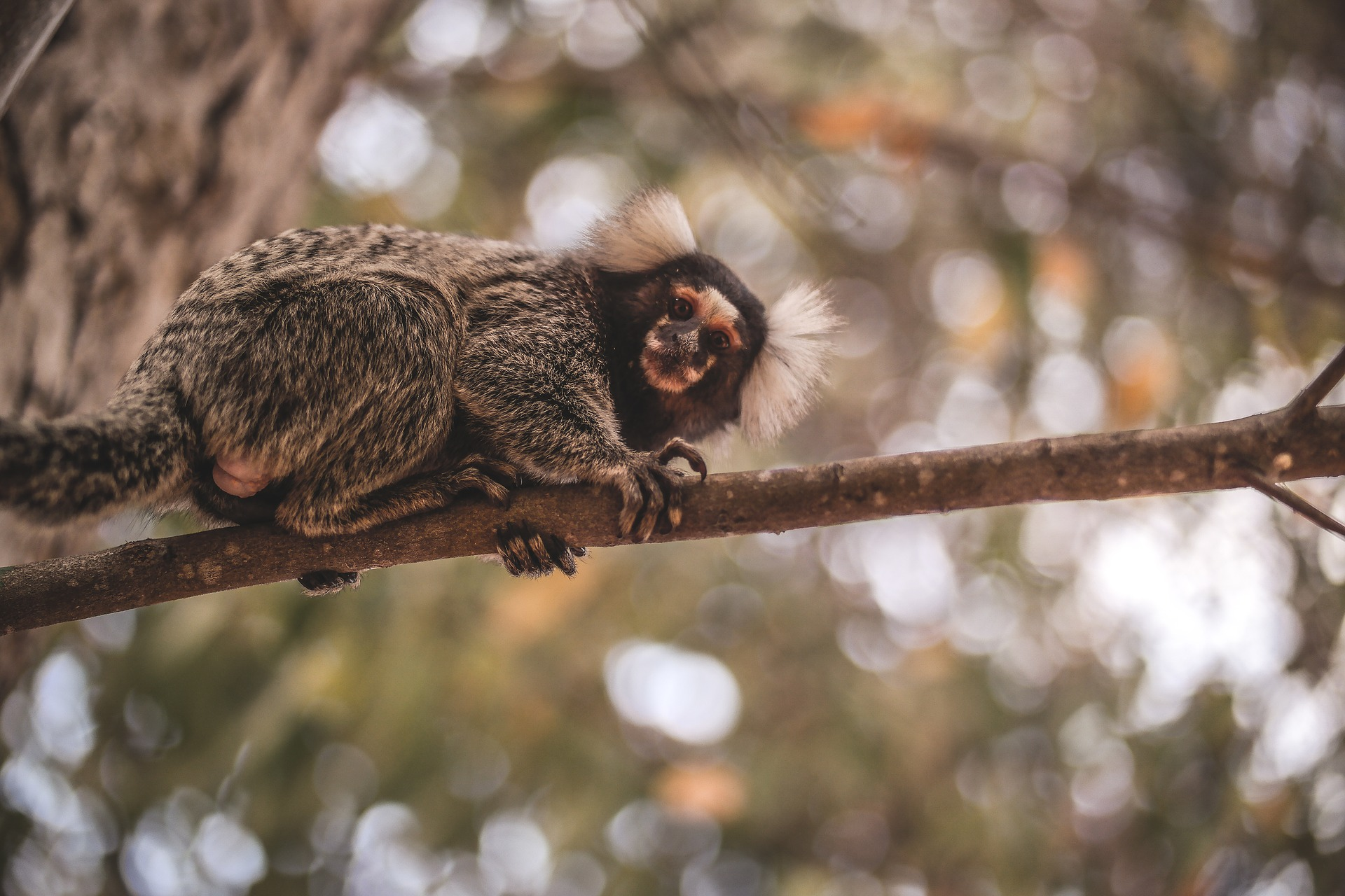 Marmoset (monkey) in Brazil