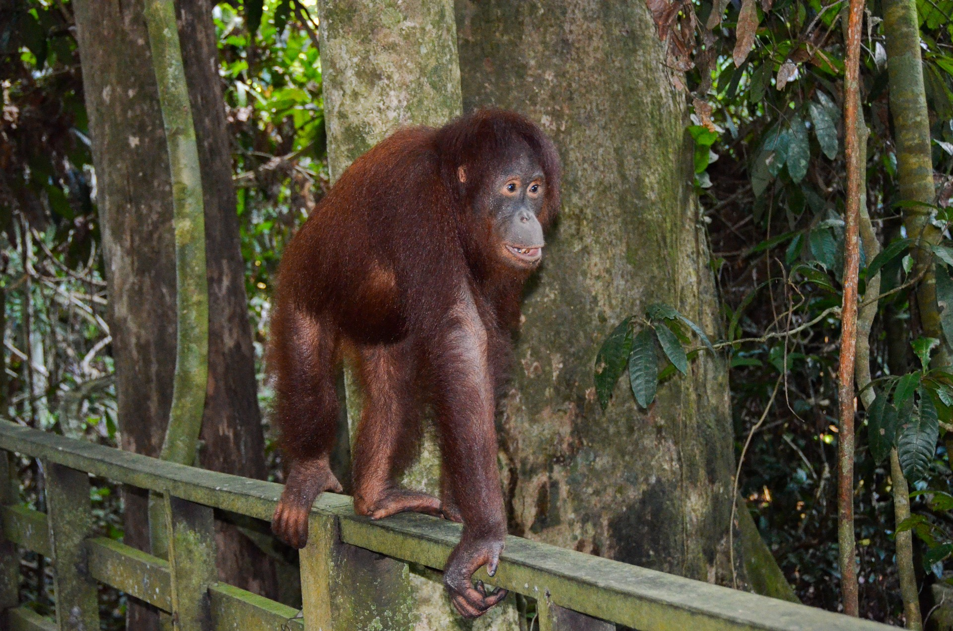 Orangutan (great red ape) in Borneo
