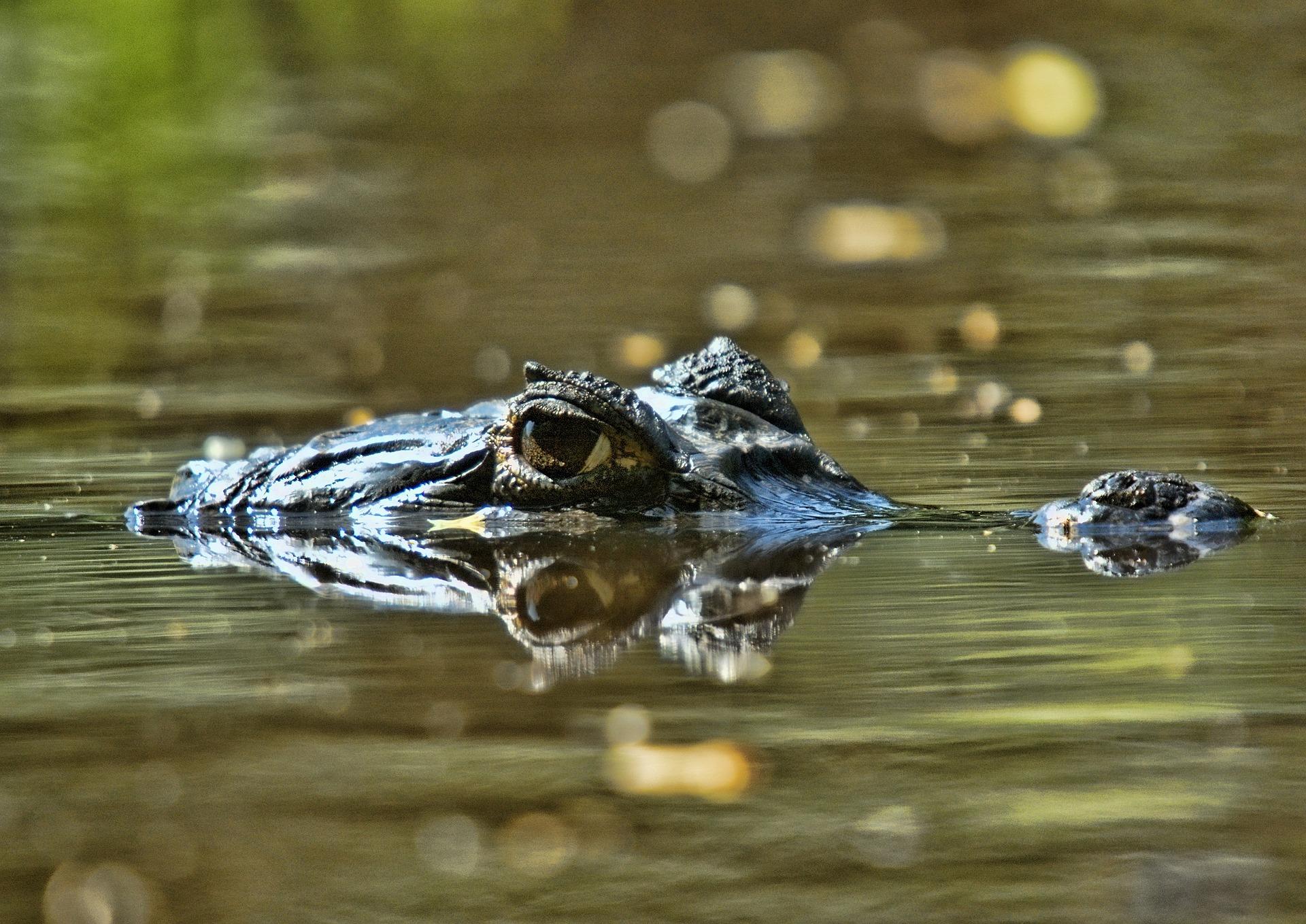 Orinoco crocodile in Venezuela