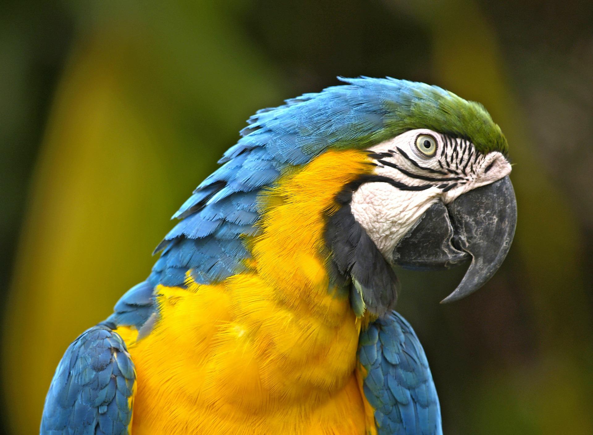 Parrot in Brazil