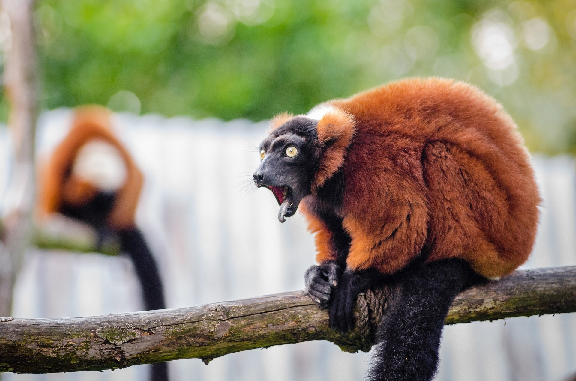 Red ruffed lemur in Madagascar