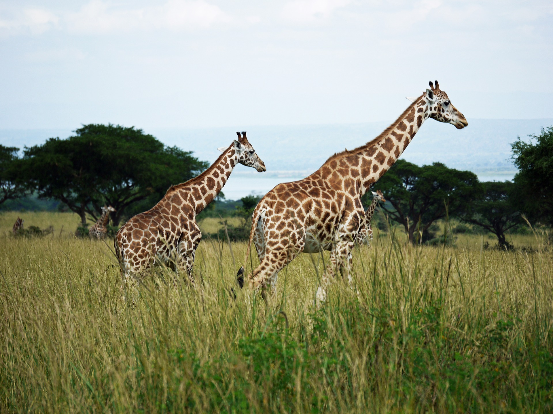 Rothschild's giraffes at Murchison Falls National Park in Uganda