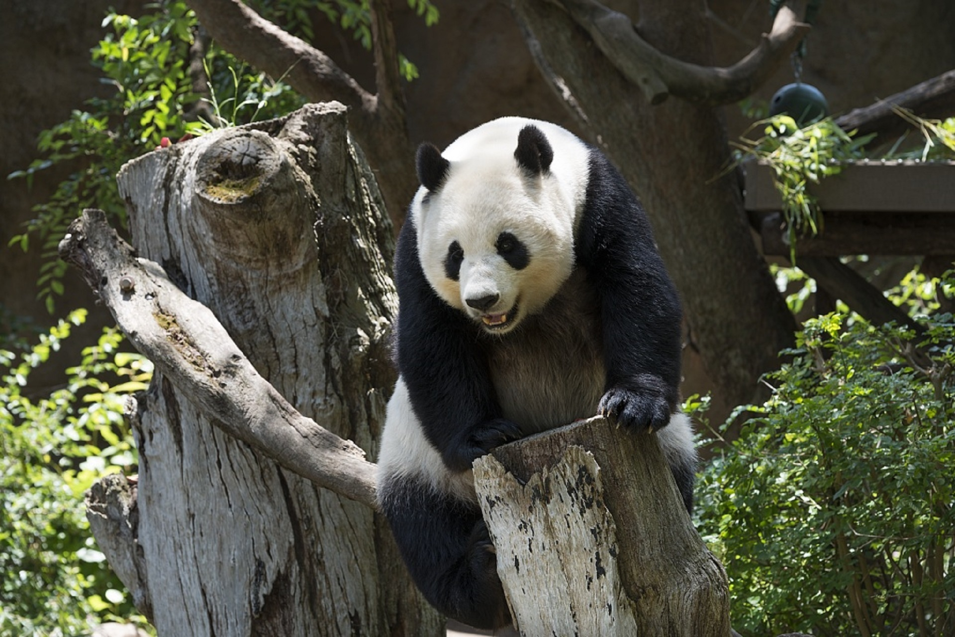 The giant panda, also known as panda bear or simply panda