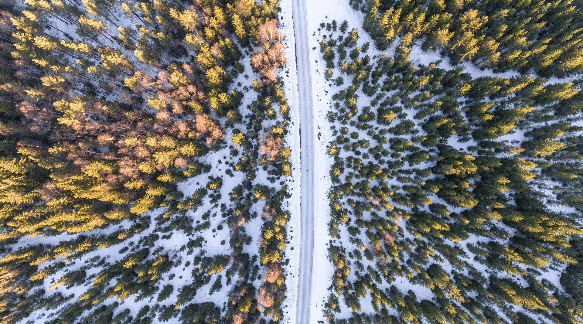 Drone footage of pine trees in snow