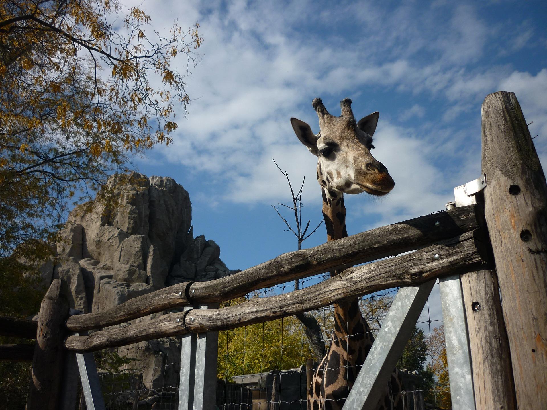 Giraffe at The Budapest Zoo, Budapest, Hungary