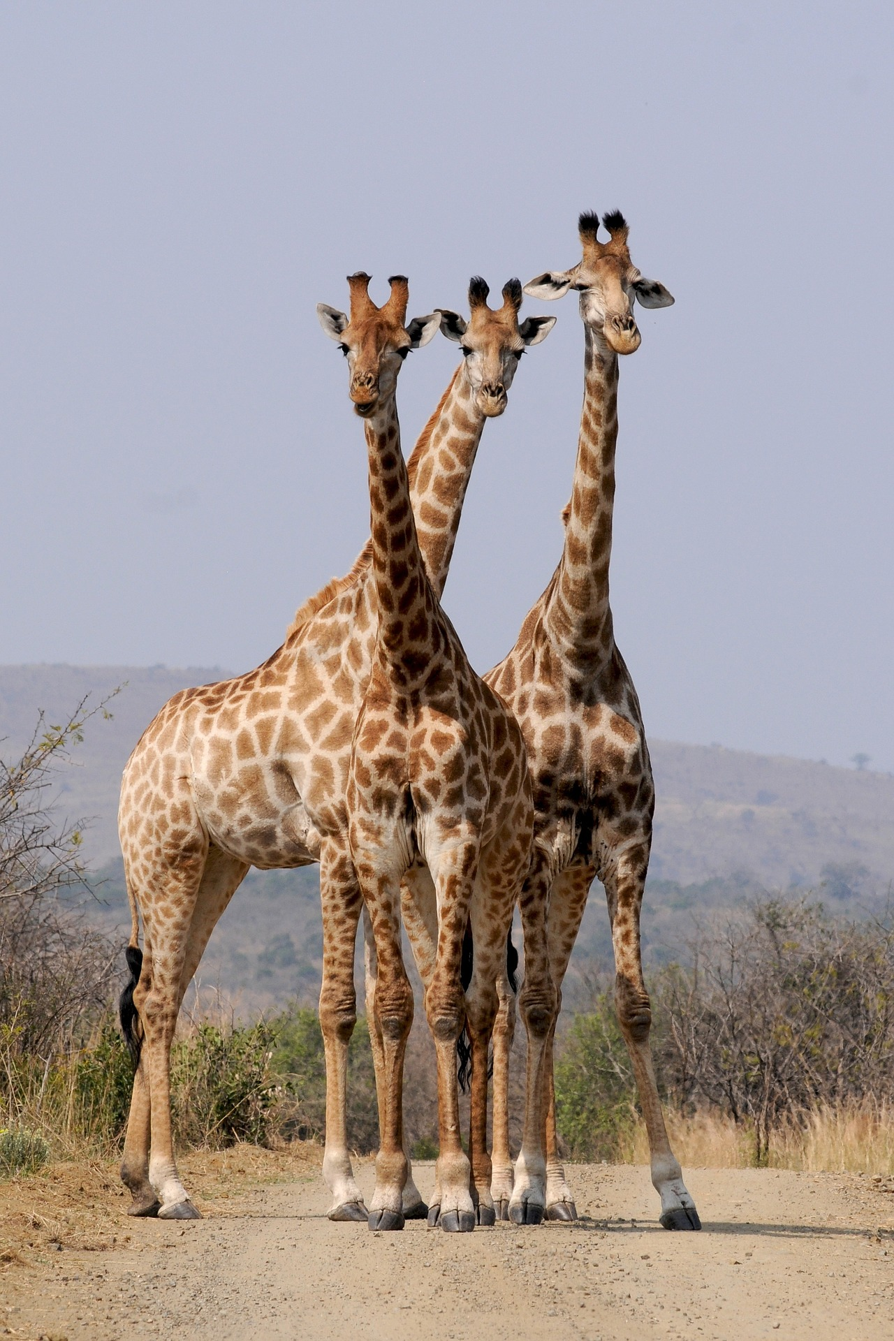 Giraffes in Hluhluwe, South Africa