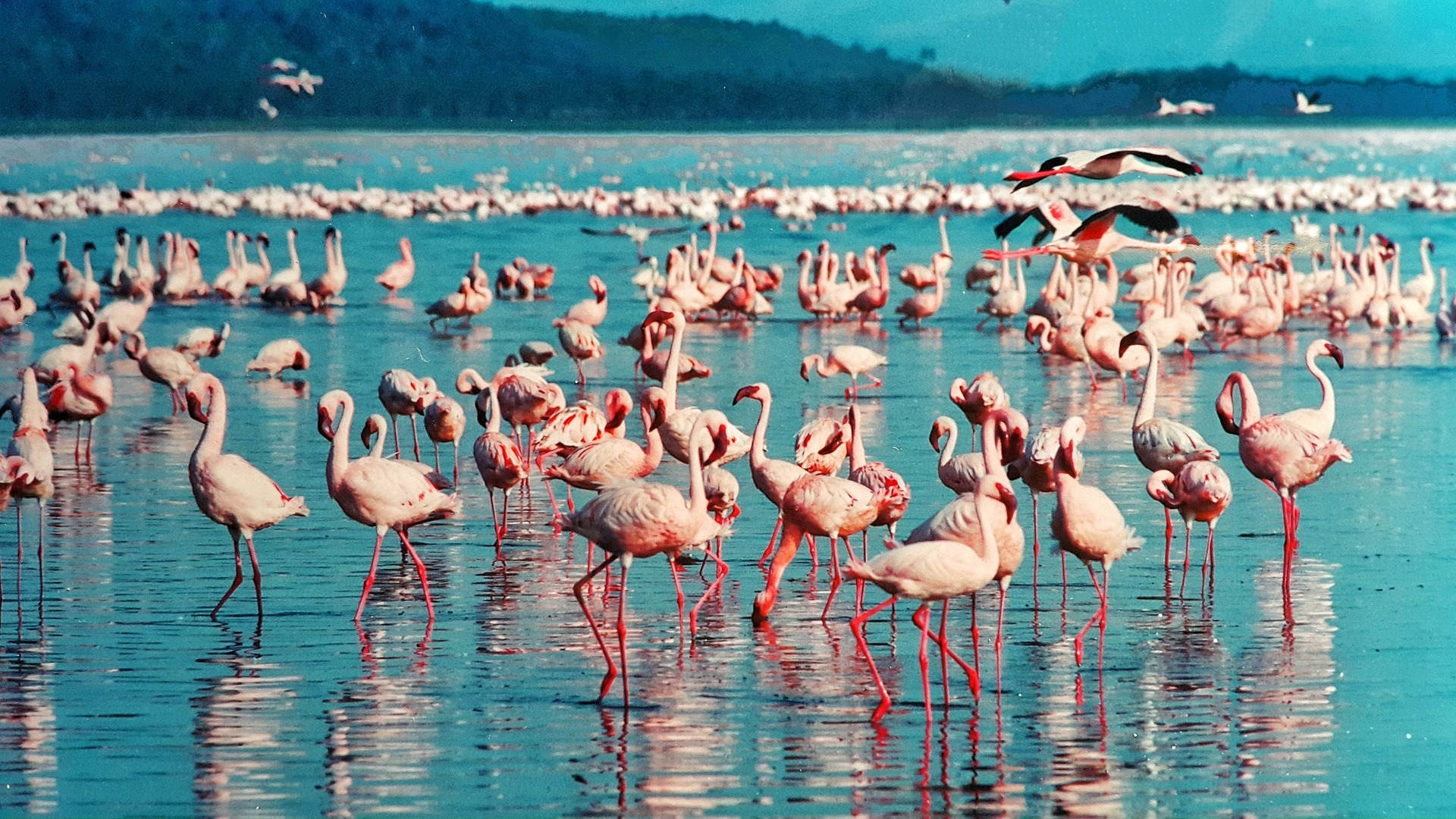 Pink Flamingo in Lake Nakuru, Kenya